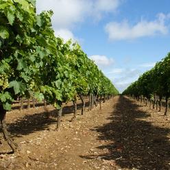 Les vignes du cognaçais dont on produit le fameux alcool