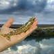 Crevette vivante