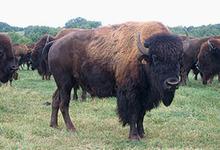 Bisons du Poitou