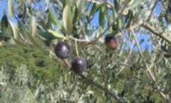 L'huile d'olive, trésor de la Méditerranée