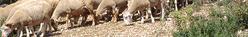 agneau sisteron