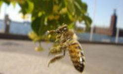 une abeille butinant un tilleul