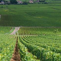 Les vignes de Montrachet en Bourgogne