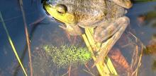Les cuisses de grenouille à la maraîchine