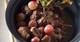 Veau aux raisins frais façon bourguignon