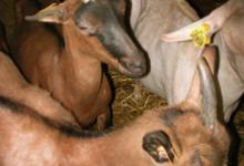 les chèvres de la ferme du Port Aubry