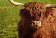 les vaches écossaises de Port Aubry