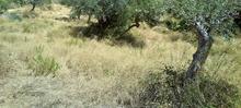 oliveraies KANAKIS