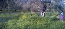 Taille des oliviers chez MELAS