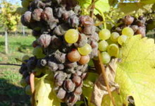 "Grappe de Monbazillac en ""Pourriture Noble"""