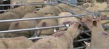 Parmentier d'agneau