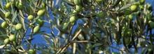 Biscuit à l'huile l'olive