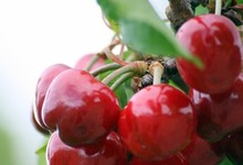 Caneton aux cerises ou caneton à la cérétane