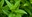 Mille Feuilles aux poires de Groslay miélées, coulis de framboises et menthe de Milly