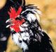 Poularde de Houdan