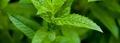 Velouté de cresson de Méréville à la menthe poivrée de Milly-la-Forêt