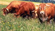 Daube de bœuf de Chalosse