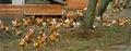 Poulet fermier des Landes rôti aux petits oignons et aux châtaignes à la sauce de Sorges