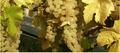 Foie gras de canard braisé entier, fruits des coteaux et Chasselas de Moissac AOC,sauce au vin de Banyuls