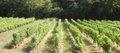 Les vignes du Château DUDON