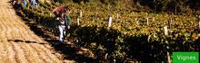 vignes à Cebazat
