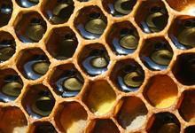 miel dans alvéoles