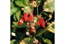 La fraise de prin