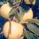 La pomme reinette-clochard