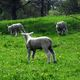L'agneau de poitou charentes