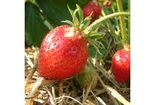 La fraise parisienne