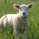 L'agneau grand cru Île-de-france