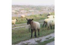 L'agneau de pré-salé breton