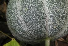 Le melon petit gris de rennes