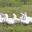 L'oie de sougéal