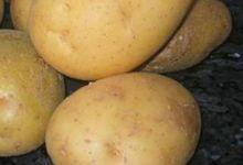 La pomme de terre d'alsace