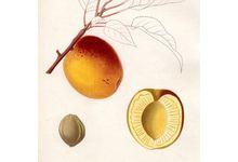 L'abricot de la vallée du rhône