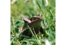 La grenouille de la dombes