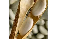 Le haricot tarbais