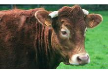 Le bœuf de chalosse