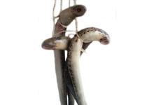 La lamproie à la bordelaise