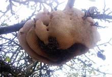 abeilles arbre