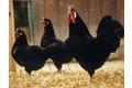 poule La Flèche