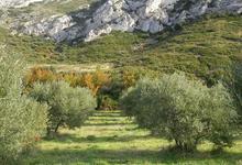 oliveraie
