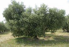 olivier en fleur