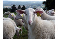 agneau du Limousin
