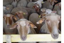 agneau de Sistéron - race Mourérous