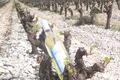 Vin blanc AOC Minervois - Cuvée Abricotine