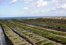 Les Jardins ostreïcoles de Tatihou, SCEC Jansens
