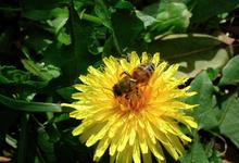 abeille pissenlit