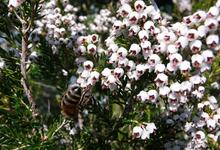 abeille bruyère blanche